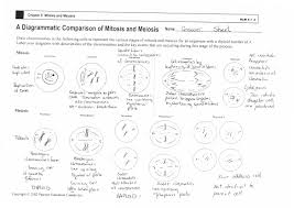 cell division and mitosis worksheet answers worksheets