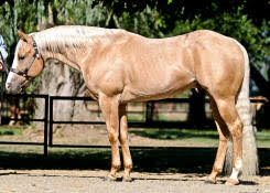 what is a roan american roan horse association