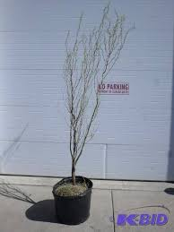 le may potted trees in loretto minnesota by loretto equipment
