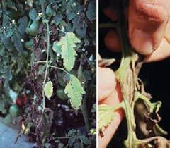 Types Of Bacterial Diseases In Plants - a z list of horticultural diseases and disorders