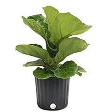 live indoor plants amazon com costa farms premium live indoor ficus lyrata fiddle
