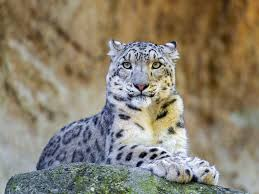 cats are going extinct 12 most endangered feline species treehugger