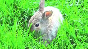 small bunny rabbit eats grass youtube