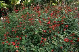 native plants for shade tropical sage salvia coccinea shade loving perennial