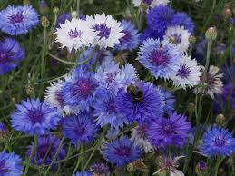 Purple And Blue Flowers Best Blue Annual Flowers For Your Garden Hgtv