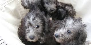 grooming a bedlington terrier puppy bedlington terrier information characteristics facts names