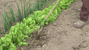 man hoeing vegetable garden soil on organic farm preparing ground