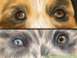 australian shepherd 2 noses how to identify an australian shepherd 12 steps with pictures