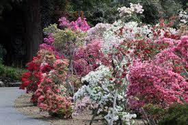 Azalea Topiary An Insight Into The World Of Japanese Nurseries Giulio Veronese