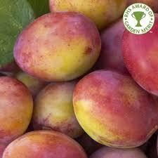 plum prunus buy plum trees