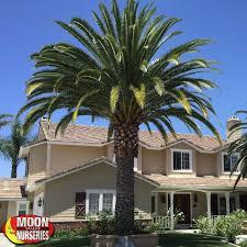 pineapple palm tree moon valley nurseries
