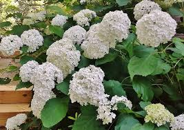White Flowering Shrub - 5 must have shrubs with white flowers to extend the life of your