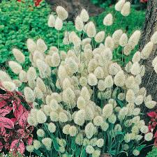 grass bunny tails seeds from mr fothergill s seeds and plants