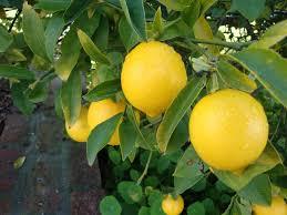 coffs harbour garden club a backyard stalwart the lemon