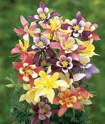 columbine flowers harlequin mixed colors columbine seeds and plants perennnial