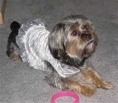 silky terrier with haircut silky tzu shih tzu x silky terrier mix dog info temperament