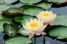 Lotus Flower In Muddy Water - 10 spiritual symbols you must know