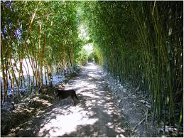 backyards chic image of live bamboo fence garden 14 plants