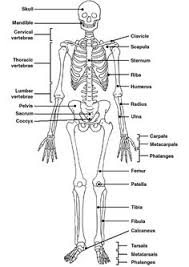 Anatomy And Physiology Tests With Answers Skeleton Label Worksheet With Answer Key Anatomy And Physiology