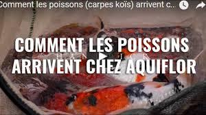 comment cuisiner une carpe comment les poissons carpes koïs arrivent chez aquiflor