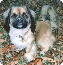 afghan hound adoption florida wilford joey adopted dog wilford joey orlando fl
