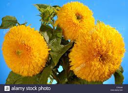 teddy sunflowers sungold hybrid sunflowers helianthus annuus sungold