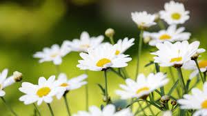 photos of daisies u2013 savingourboys info