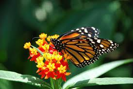 monarch butterfly saint louis zoo