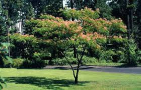 silk tree mimosa mimosa trees for sale willis orchards