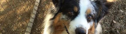australian shepherd puppies for sale los angeles aussie rescue socal u2013 australian shepherd rescue