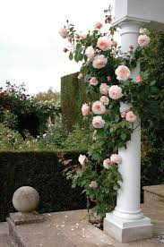 What To Use For Climbing Plants - best 25 climbing roses ideas on pinterest roses climbing
