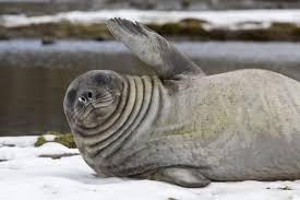 Awkward Seal Meme - images awkward seal original