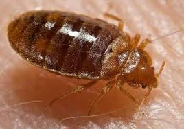 How To Identify Bed Bugs Easy Steps To Get Rid Of Bed Bugs Permanently