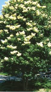 Trees With White Flowers Tree Product Categories J C Bakker Nurseries Page 2