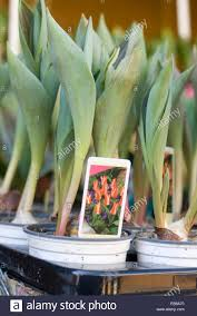 spring bulbs early tulip bulbs in small pots for sale in a public