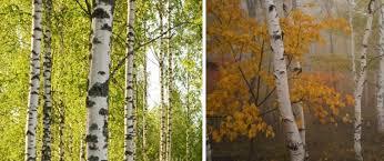 Trees Backyard Backyard Design Idea Zebra Print Complimenting Your Birch Trees
