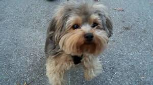 yorkie poo puppy cut dogs pinterest yorkie poo puppies and dog