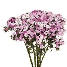 dianthus flower dianthus flower