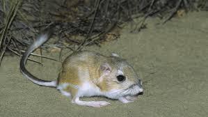 what is the lifespan of a kangaroo rat kangaroos rats and animal