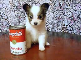 bichon frise breeders texas papillon puppies for sale tinypap com home page winfield u0027s