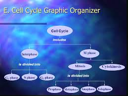 cell growth u0026 division chapter 10 u0026 ppt video online download