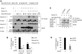 Grey And White α Arrestin 1 Arrdc1 And β Arrestins Cooperate To Mediate Notch