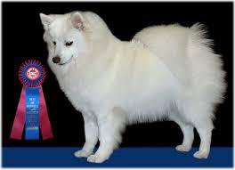 american eskimo dog forum american eskimo dog