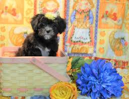 buy a affenpinscher puppies for sale teacup u0026 toy