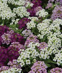 12 Best Annual Flowers For by List Of Annual Flowers With Pictures Best Flower In The Word 2017