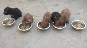 bedlington terrier stud bedlington terrier puppies pedigree kc registered in bishop