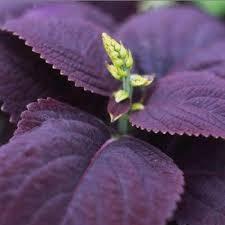buy sd0595 purple wolftail grass seeds ornamental millet