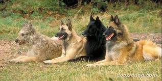 belgian shepherd tervuren 101 terrierman u0027s daily dose belgium u0027s lost breed of shepherd