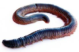 segmented worms more than 10 000 species phylum annalida