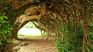 meaning of trees bbc radio 3 the essay the meaning of trees series 1 yew
